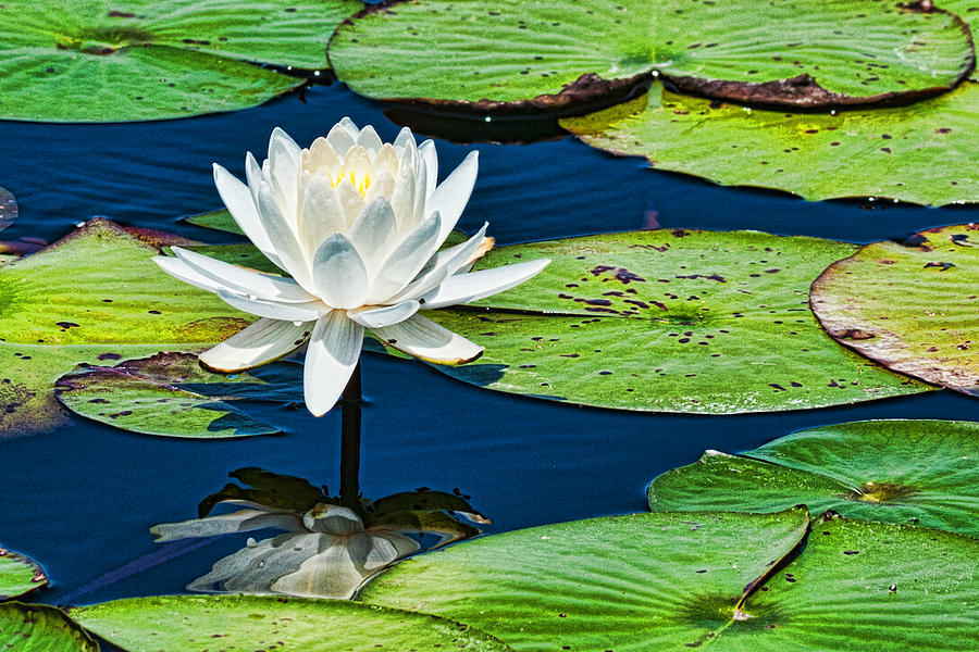 Lilly Pads Photograph - Lilly White by Frank Feliciano