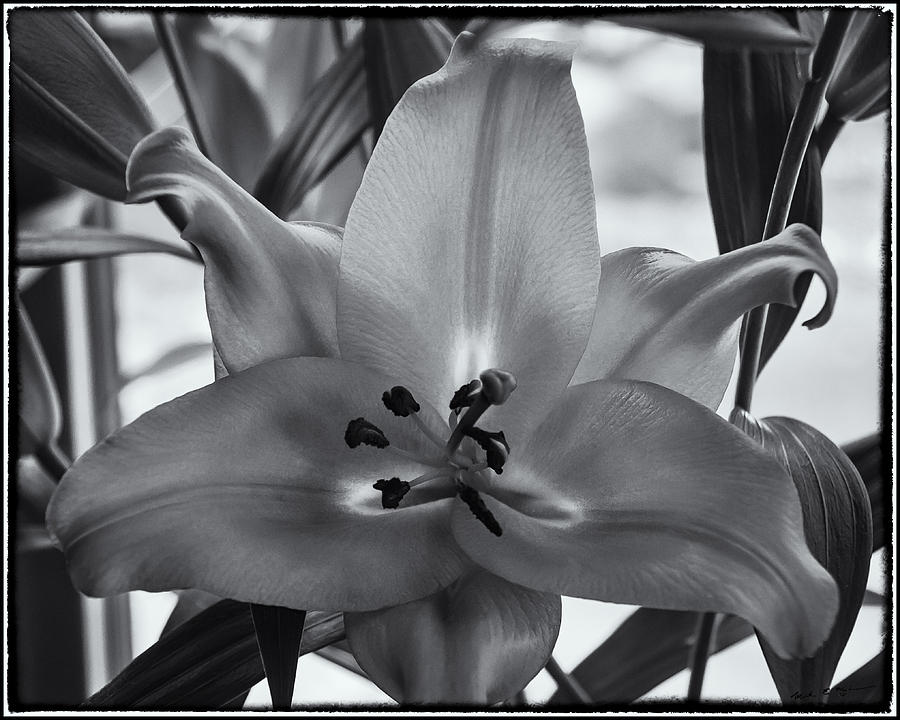 Lily 17 Photograph