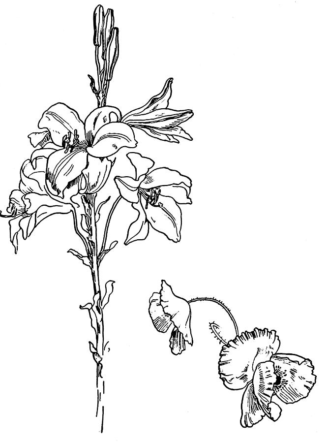 Line Drawing Flower Images : Lily and poppy flower line drawing by
