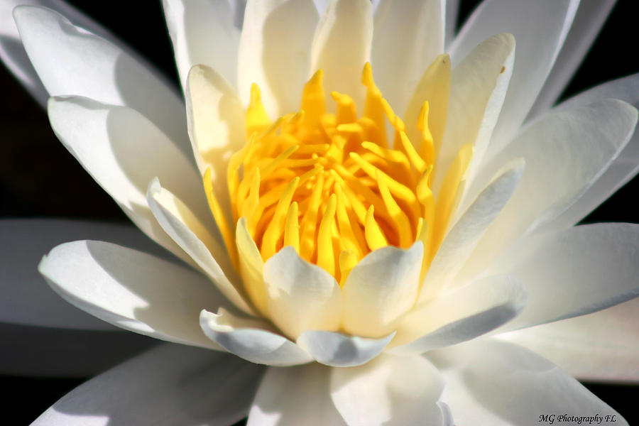 Lily Photograph - Lily Flower by Marty Gayler