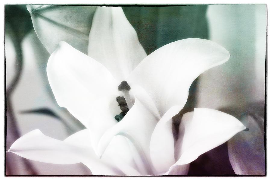 Lily Glorified II Photograph