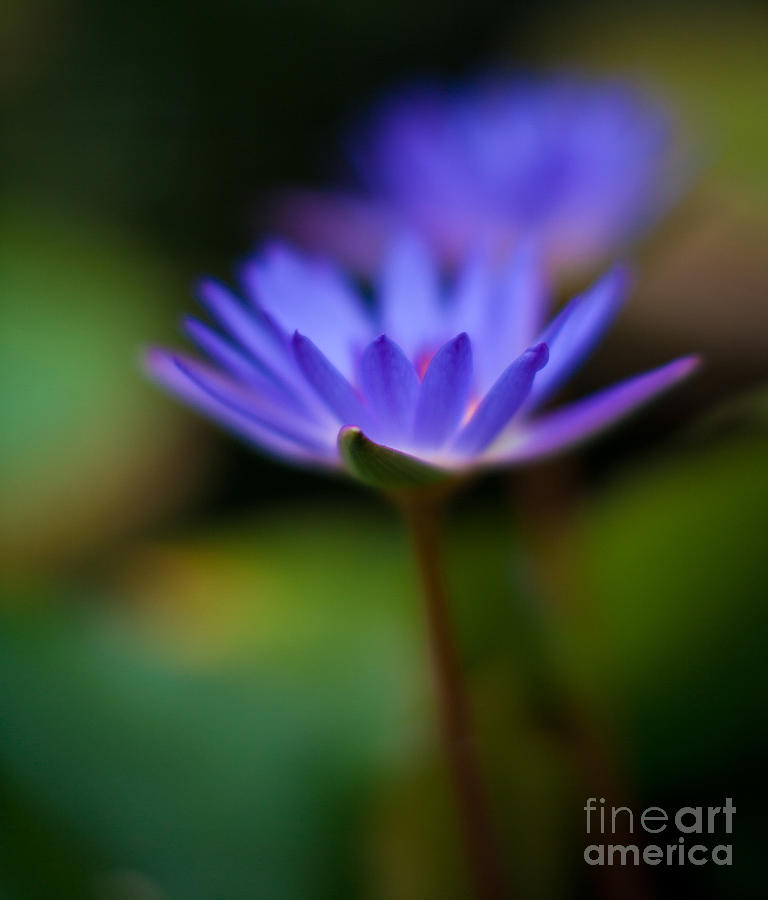 Lily Photograph - Lily Glow by Mike Reid