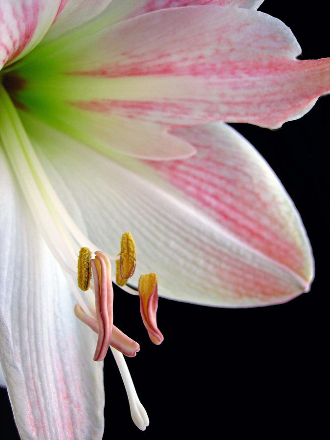 Lily Photograph - Lily by Jill Blackwood
