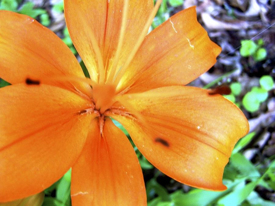 Flower Photograph - Lily by Kimberly Elliott
