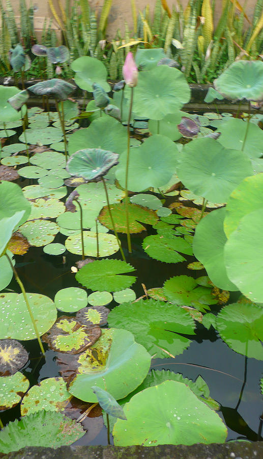Lily Pad Photograph - Lily Pad by Jack Edson Adams