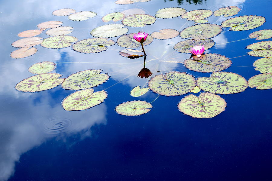 Lily Pads -  A Floating World Photograph