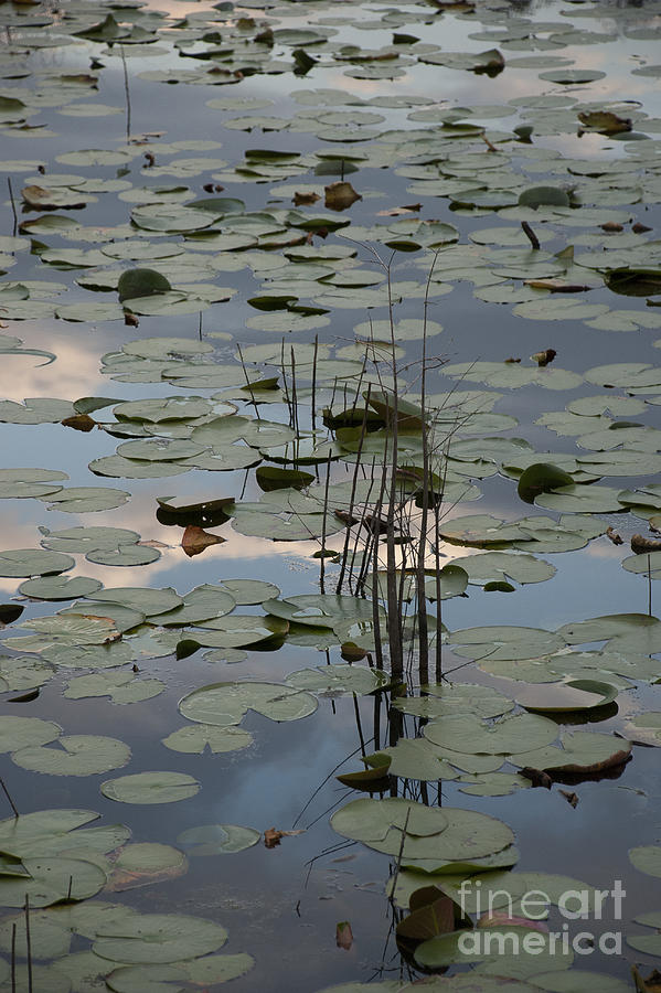 Water Lily Photograph - Lily Pads And Sky Reflection by Lauren Brice