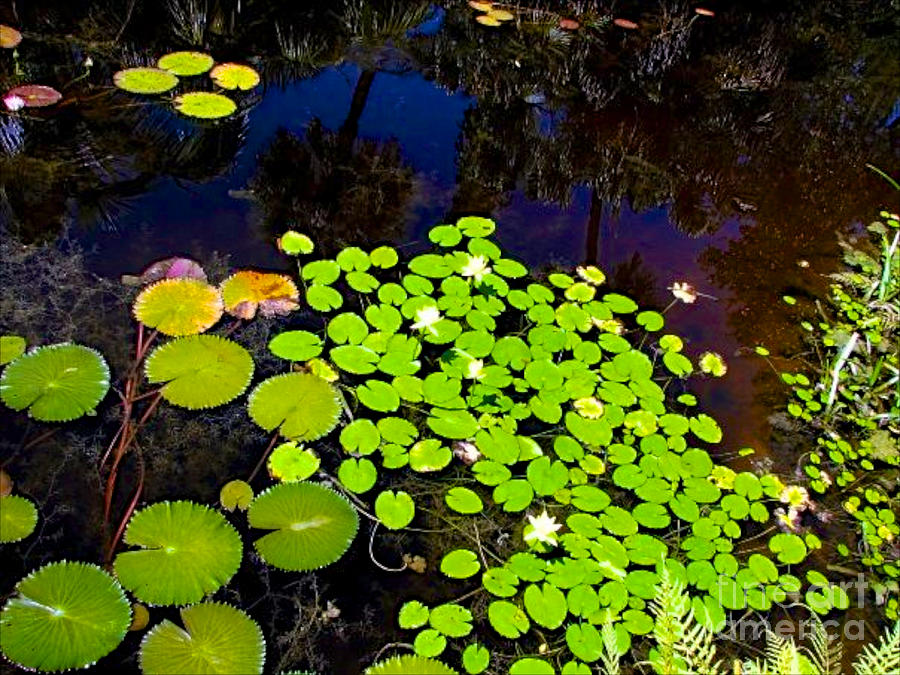 Pond Photograph - Lily Pads by Anita Lewis