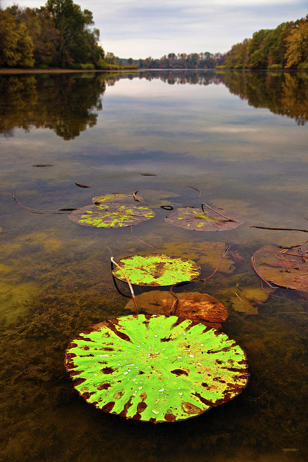 Fall Color Photograph - Lily Pads Decay In Fall by Steven Llorca