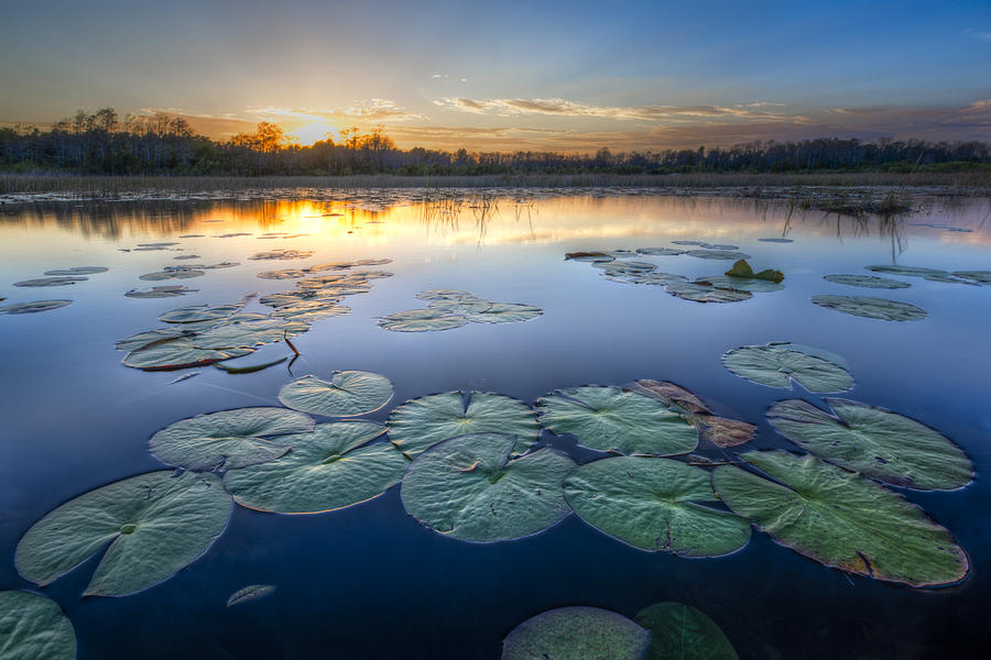Art Photograph - Lily Pads In The Glades by Debra and Dave Vanderlaan