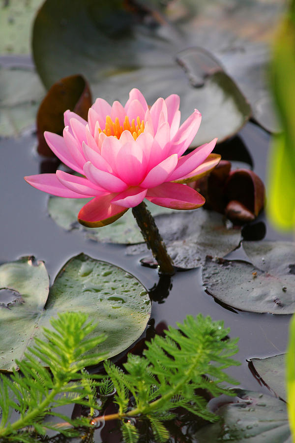 Water Lily Photograph - Lily Pink by Carolyn Stagger Cokley