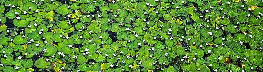 Water Photograph - Lily Pond by Jocelyn Kahawai