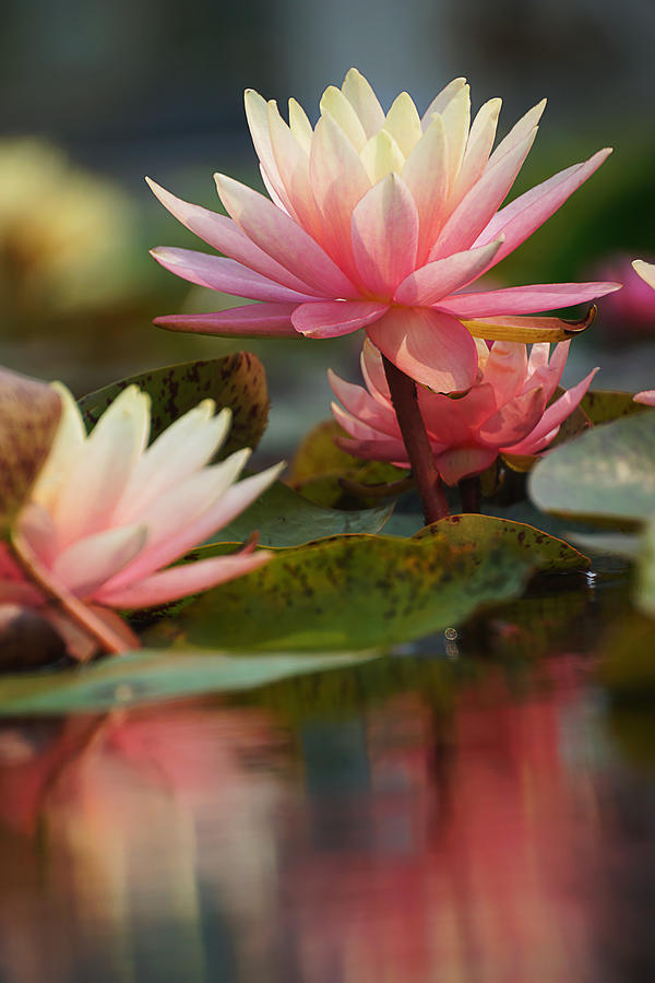 Lily Reflections 2 Photograph By Leda Robertson
