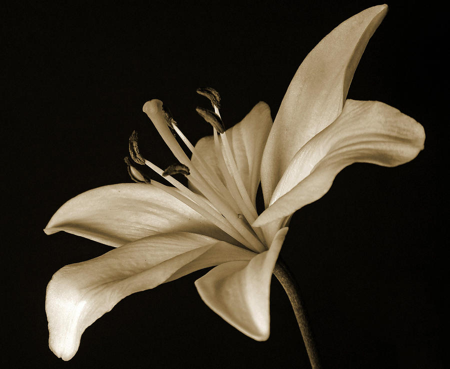 Lily Photograph - Lily by Sandy Keeton