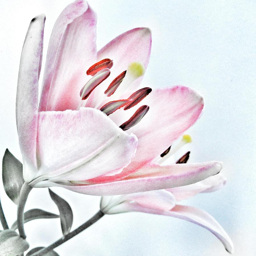Lily soft pink and grey flower photograph by marianna mills lily photograph lily soft pink and grey flower by marianna mills mightylinksfo