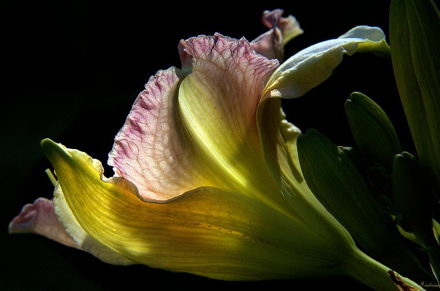 Nature Photograph - Lily Study I by Michael Friedman