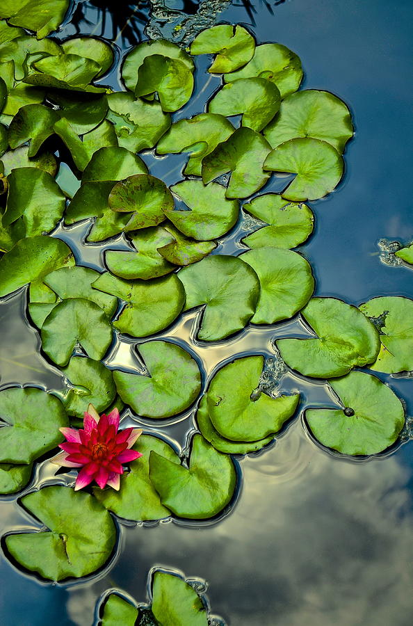 Water Lilies Photograph - Pacman Lily  by Thomas Camp