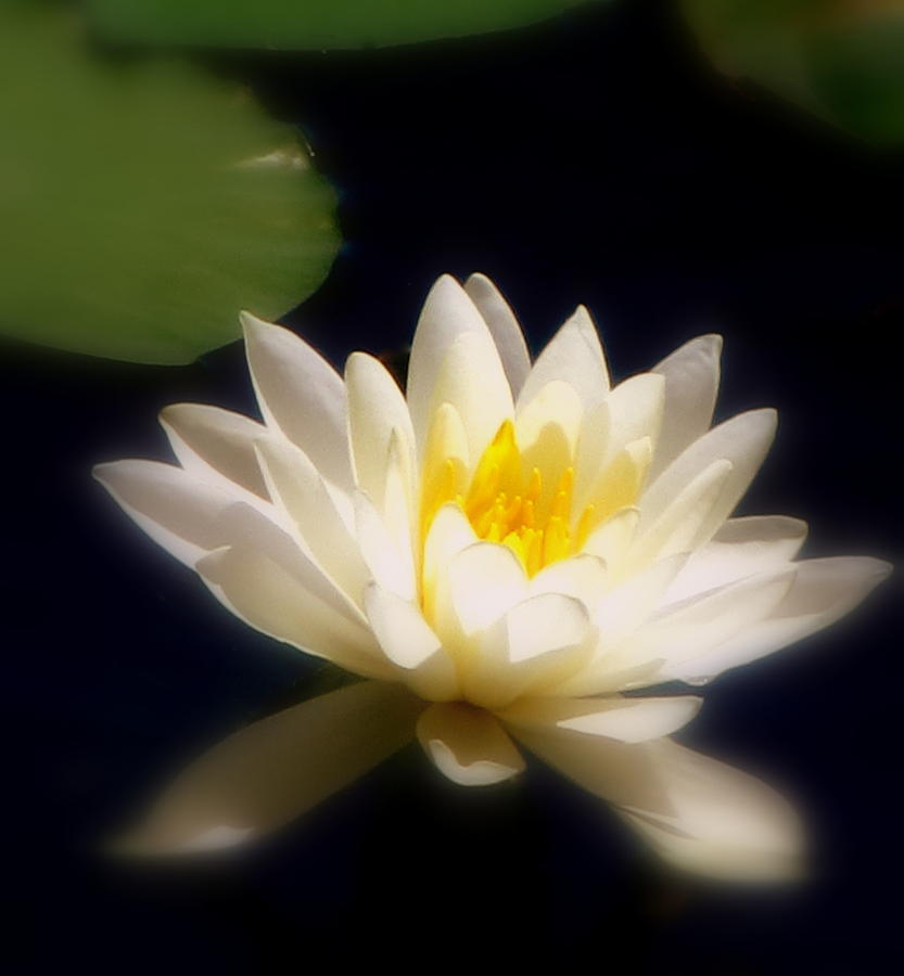 White Lily Photograph - Lilypad by Maria Scarfone