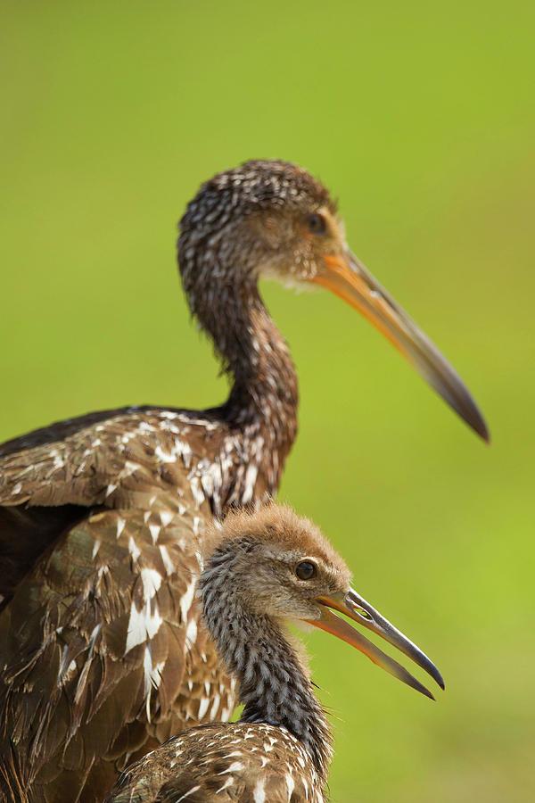Bird Photograph - Limpkin With Chick, Aramus Guarana by Maresa Pryor