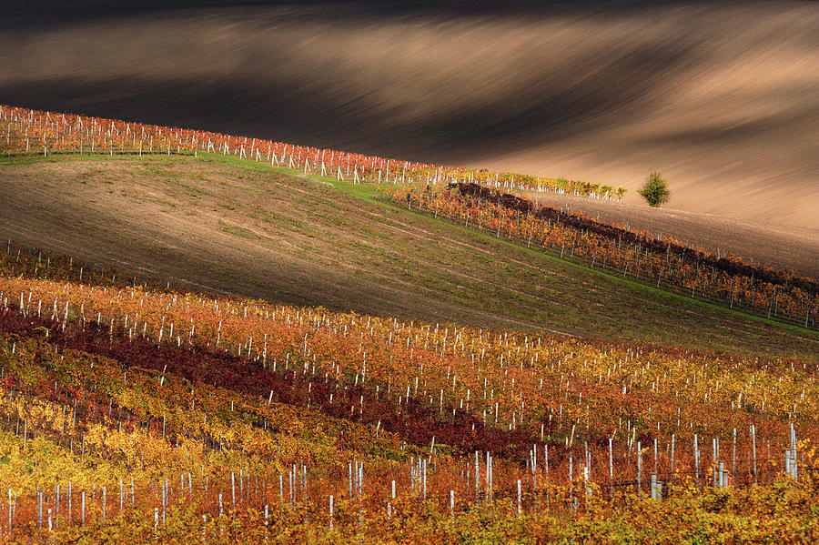 Agriculture Photograph - Line And Vine by Vlad Sokolovsky