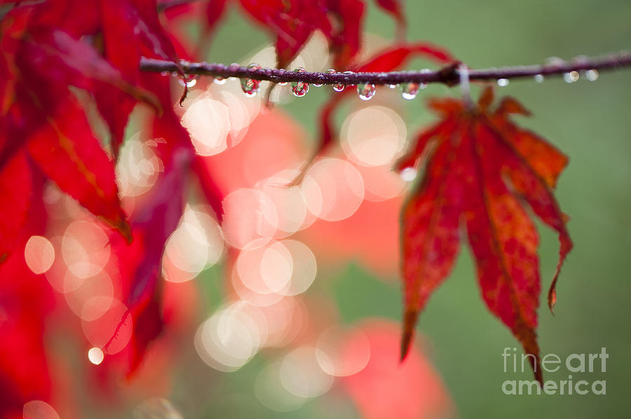 Acer Photograph - Line Of Reflections by Anne Gilbert
