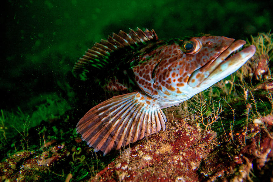 British Columbia Photograph - Lingcod (ophiodon Elongatus by James White