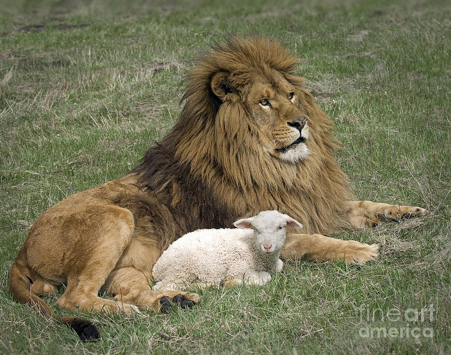 Lion And Lamb Photograph - Lion And Lamb by Wildlife Fine Art