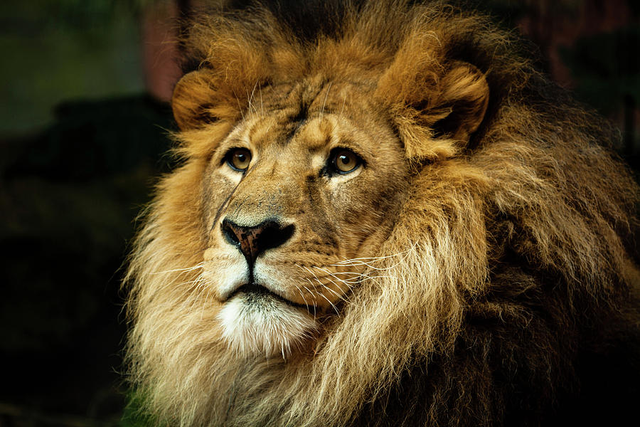 Lion Photograph by Ann Clarke Images