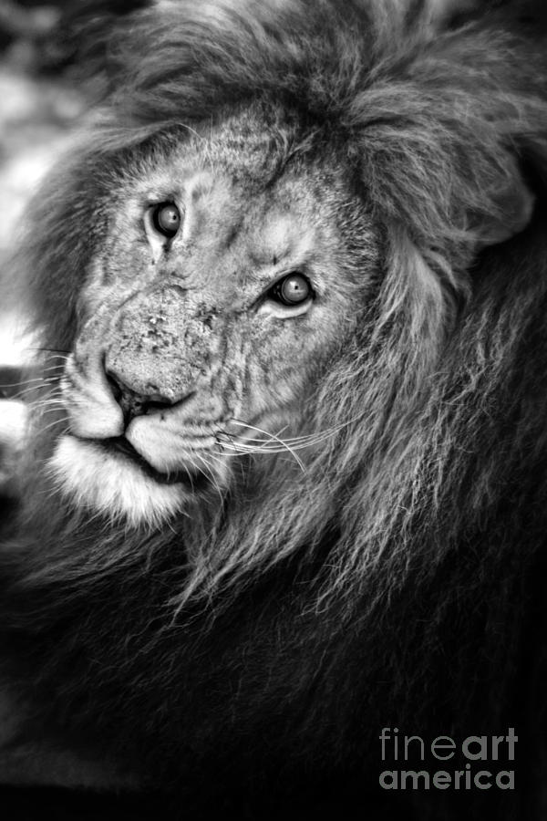 Lion Black And White Photograph By Jonathan Symmonds