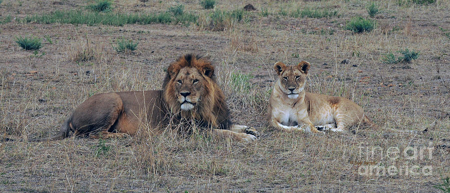 Lion Couple by Sue Jarrett
