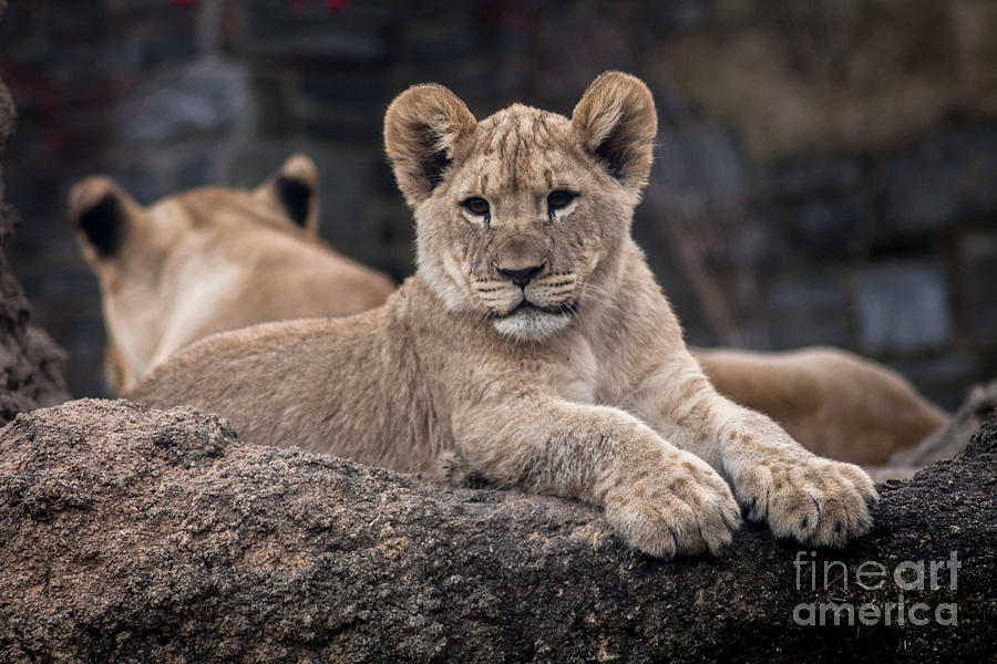 Lion Cub Photograph