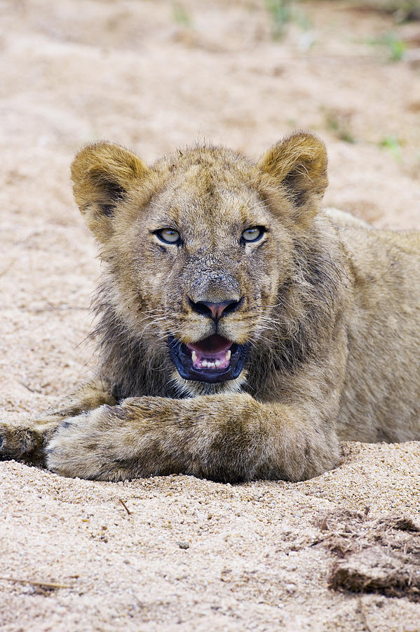 Lion Cub In Dry River Bed Photograph by Sean McSweeney