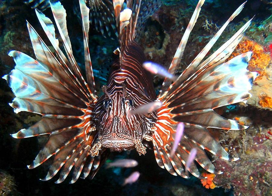 Lion Fish - En Garde Photograph