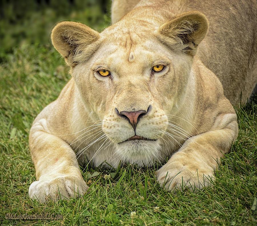 Lion Photograph - Lion In The Grass by LeeAnn McLaneGoetz McLaneGoetzStudioLLCcom