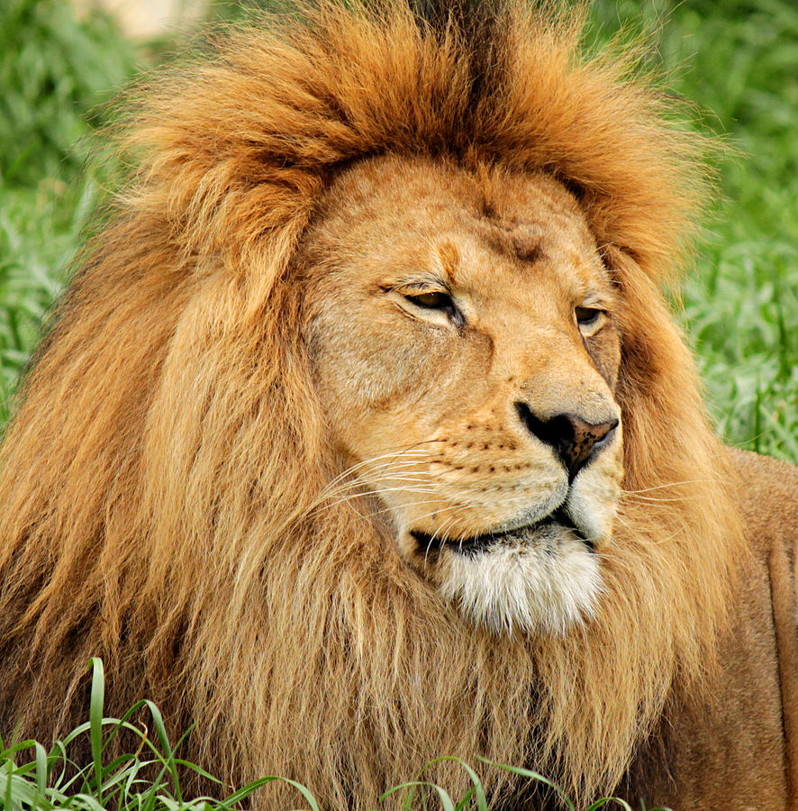 Lion in the Grass by Sarah Broadmeadow-Thomas