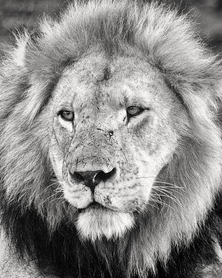 3scape Photos Photograph - Lion King by Adam Romanowicz
