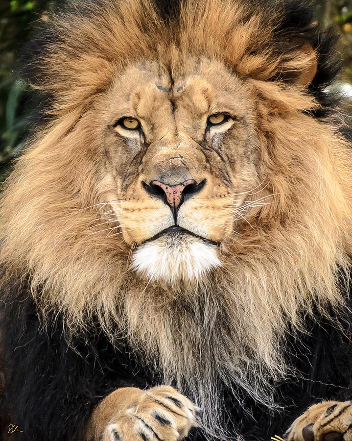 Lion Photograph - Lion King by Pat Scanlon
