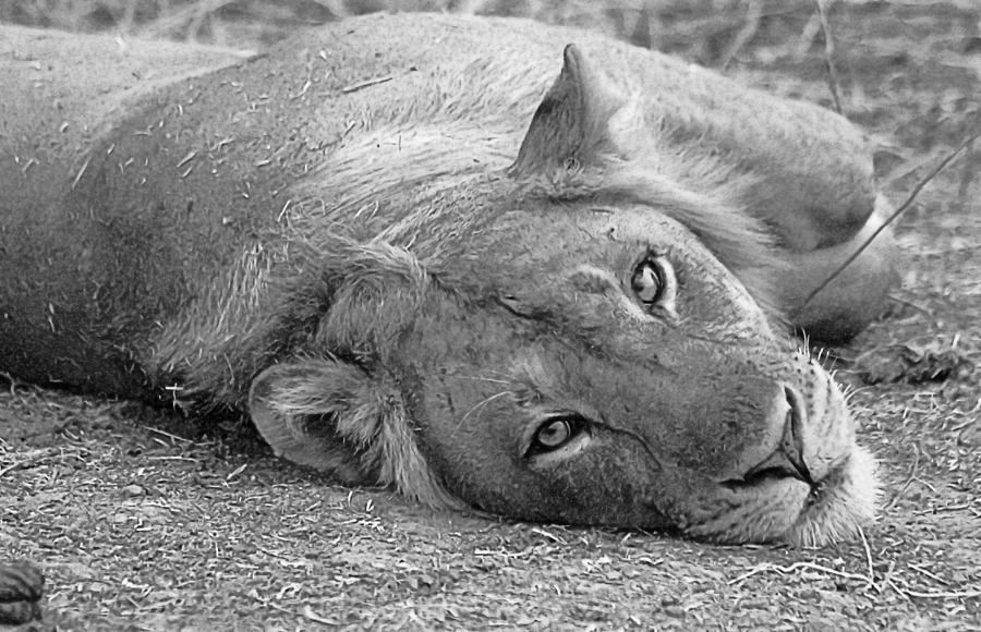 Lion Photograph - Lion by Martin Michael Pflaum