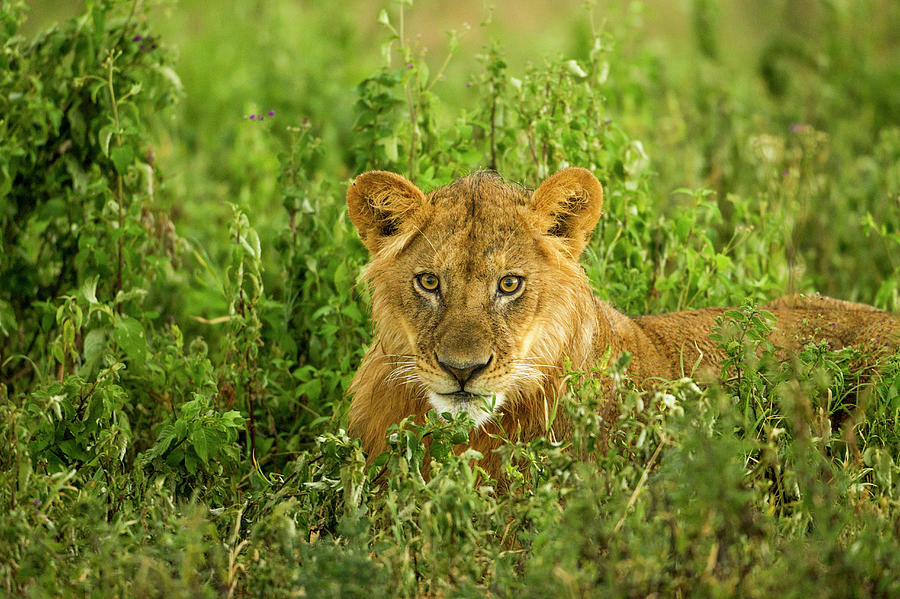 Lion, Ngorongoro Conservation Area Photograph by Paul Souders