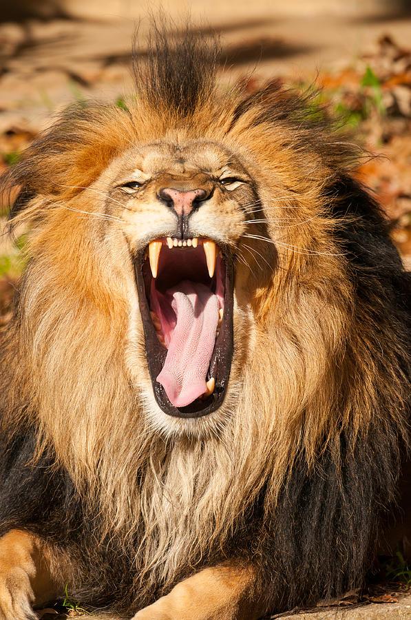 Lion Photograph by Nikographer [Jon]