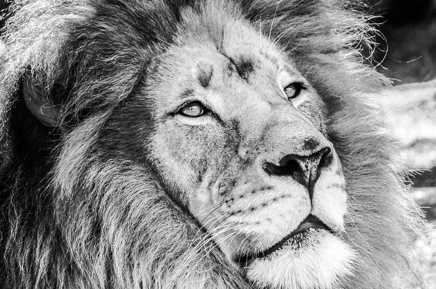 San Diego Zoo Photograph - Lion by Robert  Aycock