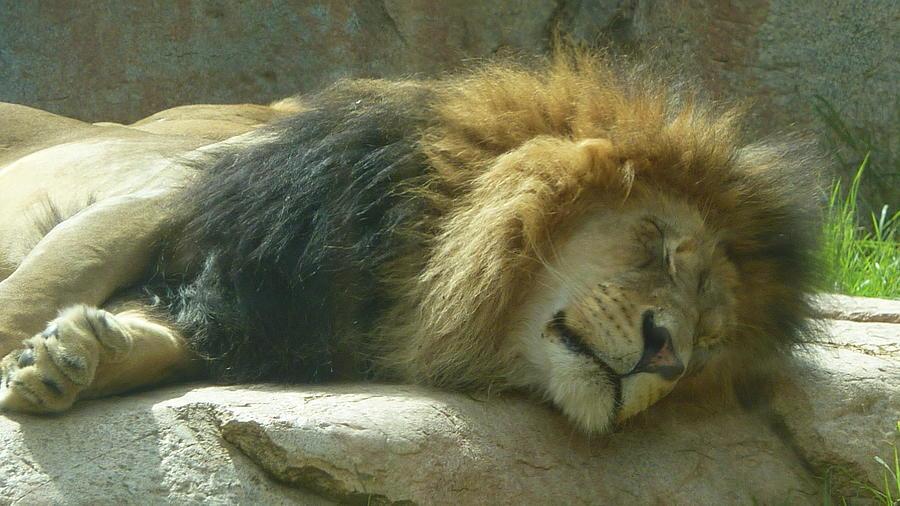 Lion Sleeping Male 1 Photograph