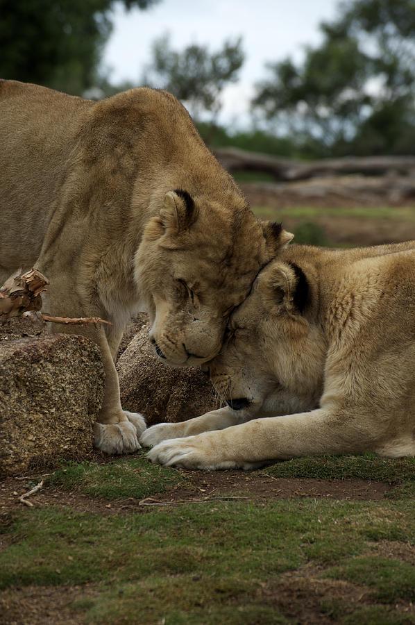Australian Photograph - Lion Smooch by Graham Palmer
