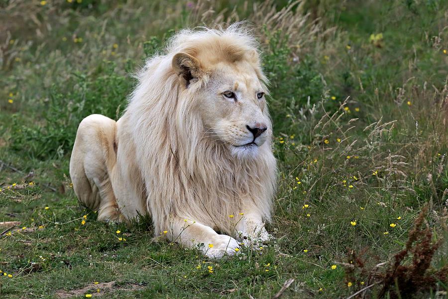 Lion Photograph by Tier Und Naturfotografie J und C Sohns