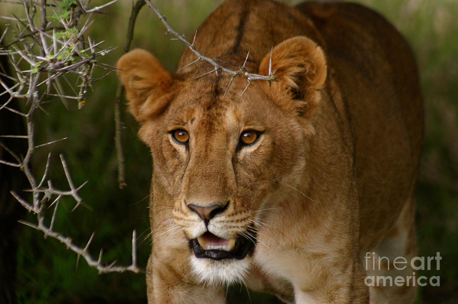 Lioness Photograph - Lioness by Alison Kennedy-Benson