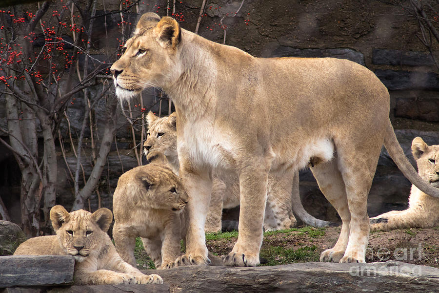 Lioness And Cubs Photograph