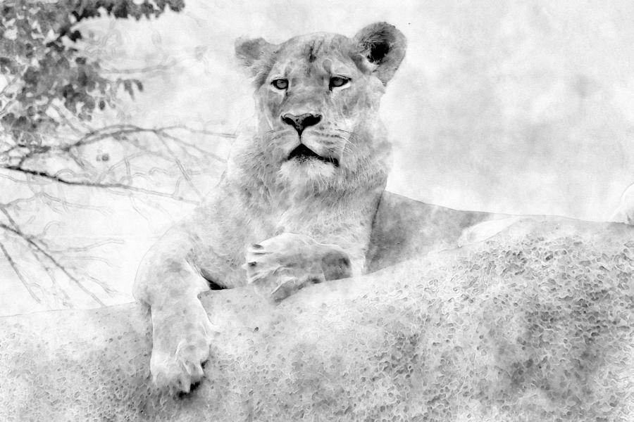 Black And White Lioness Drawing