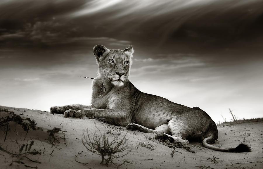 Lion Photograph - Lioness On Desert Dune by Johan Swanepoel