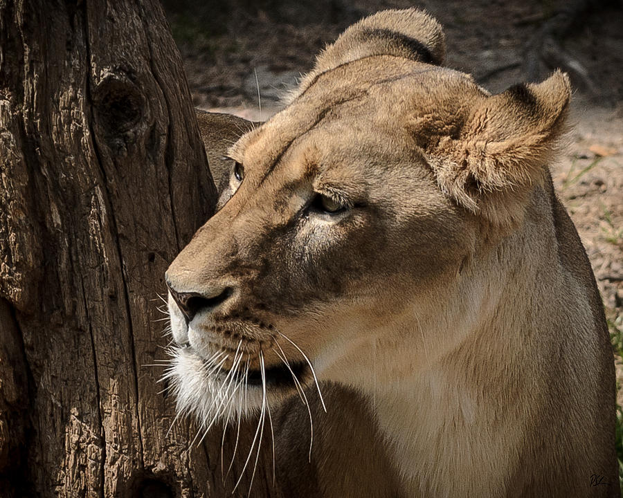 Lion Photograph - Lioness by Pat Scanlon