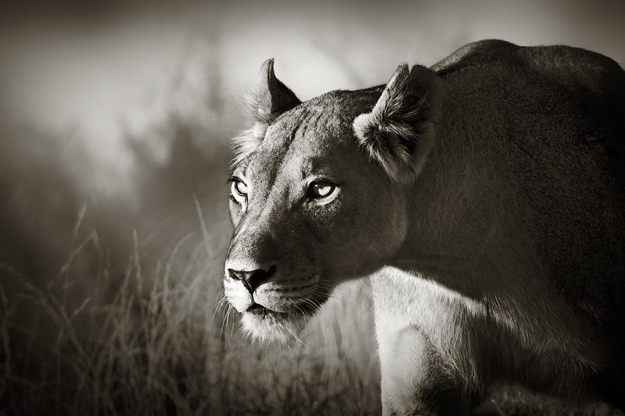 Lioness Photograph - Lioness Stalking by Johan Swanepoel